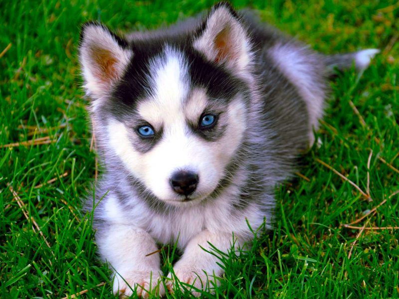 Siberian Husky HD Wallpaper