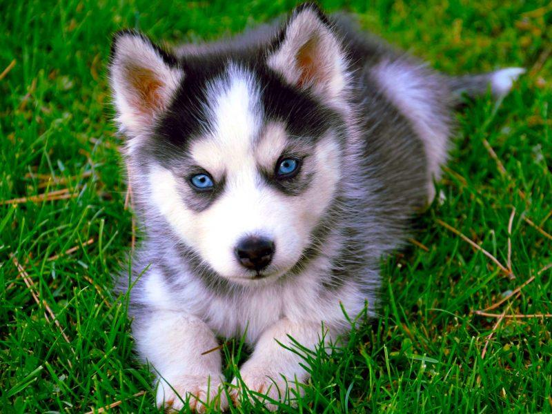 Siberian Husky Hd Wallpaper Free Husky Dog Downloads