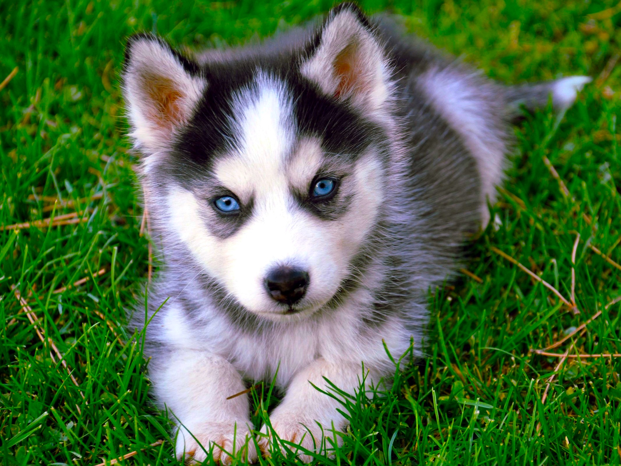 siberian husky hd wallpaper | free husky dog downloads